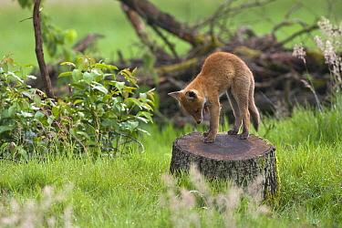 Red Fox (Vulpes vulpes) kit stretching, Veluwe, Gelderland, Netherlands  -  Michiel Schaap/ Buiten-beeld