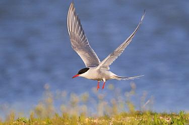 Common Tern (Sterna hirundo) flying, Texel, Noord-Holland, Netherlands  -  Willi Rolfes/ NIS
