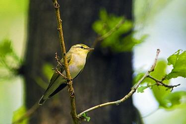 Wood Warbler (Phylloscopus sibilatrix), Netherlands  -  Otto Plantema/ Buiten-beeld