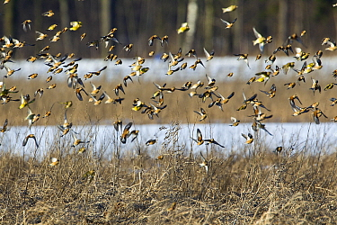 Linnet (Carduelis cannabina) group flying with European Greenfinches (Chloris chloris), Netherlands  -  Otto Plantema/ Buiten-beeld