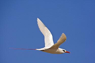 Red-tailed Tropicbird (Phaethon rubricauda) flying, Midway Atoll, Hawaii  -  Otto Plantema/ Buiten-beeld