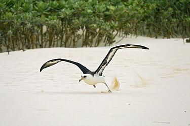 Laysan Albatross (Phoebastria immutabilis) running over the beach to take off, Midway Islands, North Pacific Ocean  -  Otto Plantema/ Buiten-beeld