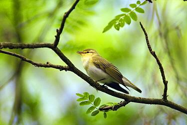 Wood Warbler (Phylloscopus sibilatrix) calling, Netherlands  -  Otto Plantema/ Buiten-beeld