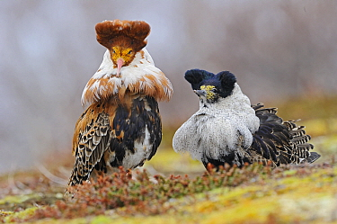 Ruff (Philomachus pugnax) displaying at a lek, Varanger, Norway  -  Winfried Wisniewski
