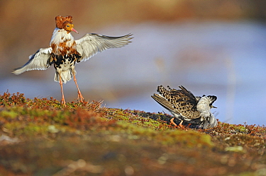Ruff (Philomachus pugnax) males displaying at a lek, Varanger, Norway  -  Winfried Wisniewski
