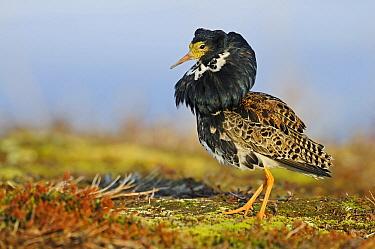 Ruff (Philomachus pugnax) male at a lek, Varanger, Norway  -  Winfried Wisniewski
