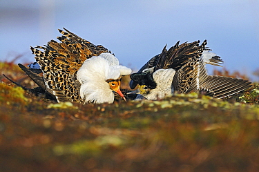 Ruff (Philomachus pugnax) males competing at lek, Varanger, Norway  -  Winfried Wisniewski