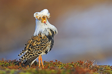 Ruff (Philomachus pugnax) male at a lek, Varanger, Norway  -  Winfried Wisniewski