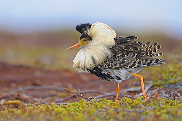 Ruff (Philomachus pugnax) male at lek, Varanger, Norway  -  Winfried Wisniewski