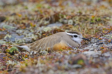 Eurasian Dotterel (Charadrius morinellus) camouflaged on the nest, Varanger, Norway  -  Winfried Wisniewski