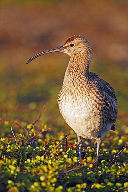 Whimbrel (Numenius phaeopus), Varanger, Norway  -  Winfried Wisniewski