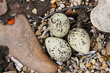 Common Ringed Plover (Charadrius hiaticula) eggs camouflaged on ground nest, Varanger, Norway  -  Winfried Wisniewski