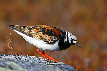 Ruddy Turnstone (Arenaria interpres), Varanger, Norway  -  Winfried Wisniewski