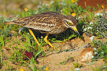 Eurasian Thick-knee (Burhinus oedicnemus) and egg at nest, El Jable, Lanzarote, Canary Islands, Spain  -  Winfried Wisniewski