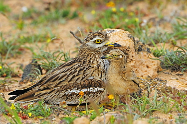 Eurasian Thick-knee (Burhinus oedicnemus) parent with chick, El Jable, Lanzarote, Canary Islands, Spain  -  Winfried Wisniewski