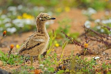 Eurasian Thick-knee (Burhinus oedicnemus) chick, El Jable, Lanzarote, Canary Islands, Spain  -  Winfried Wisniewski