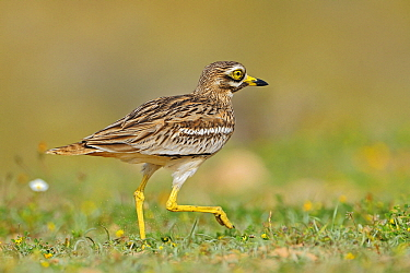 Eurasian Thick-knee (Burhinus oedicnemus) walking, El Jable, Lanzarote, Canary Islands, Spain  -  Winfried Wisniewski