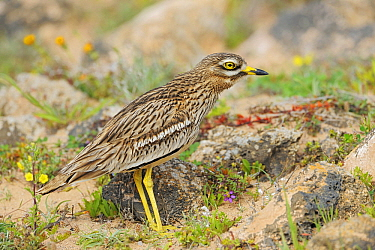 Eurasian Thick-knee (Burhinus oedicnemus), El Jable, Lanzarote, Canary Islands, Spain  -  Winfried Wisniewski
