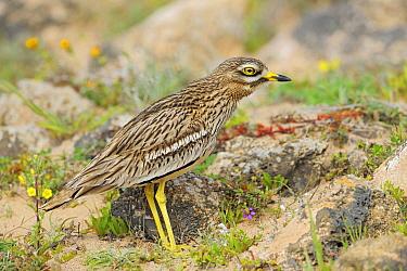 Eurasian Thick-knee (Burhinus oedicnemus), El Jable, Lanzarote, Canary Islands, Spain  -  Winfried Wisniewski