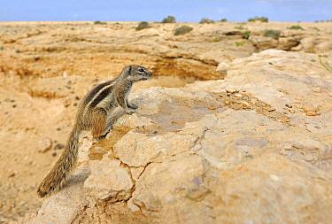 Barbary Ground Squirrel (Atlantoxerus getulus) in desert habitat, Jandia Nature Reserve, Fuerteventura, Canary Islands, Spain  -  Winfried Wisniewski