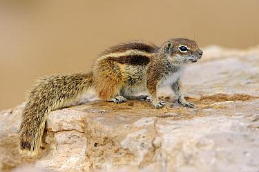 Barbary Ground Squirrel (Atlantoxerus getulus) on a rock, Jandia Nature Reserve, Fuerteventura, Canary Islands, Spain  -  Winfried Wisniewski