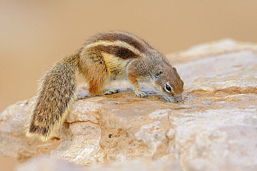 Barbary Ground Squirrel (Atlantoxerus getulus) on a rock, drinking water, Jandia Nature Reserve, Fuerteventura, Canary Islands, Spain  -  Winfried Wisniewski