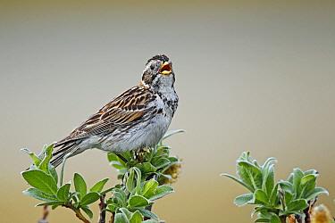 Lapland Bunting (Calcarius lapponicus) singing, Norway  -  Winfried Wisniewski