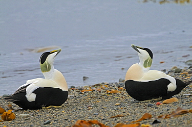 Common Eider (Somateria mollissima), males displaying, Varanger, Norway  -  Winfried Wisniewski