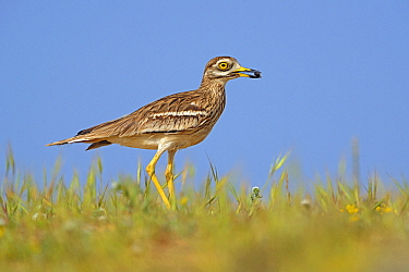 Eurasian Thick-knee (Burhinus oedicnemus) carrying prey in bill, El Jable, Lanzarote, Canary Islands, Spain  -  Winfried Wisniewski