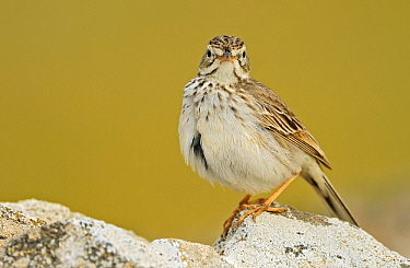 Berthelot's Pipit (Anthus berthelotii) perched on a rock, El Jable, Lanzarote, Canary Islands, Spain  -  Winfried Wisniewski