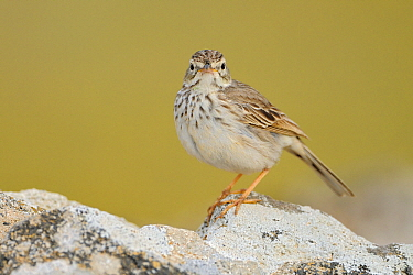 Berthelot's Pipit (Anthus berthelotii), El Jable, Lanzarote, Canary Islands  -  Winfried Wisniewski