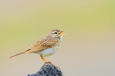 Berthelot's Pipit (Anthus berthelotii) calling, El Jable, Lanzarote, Canary Islands, Spain  -  Winfried Wisniewski