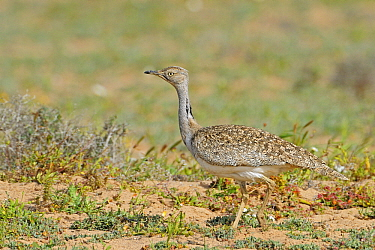 Houbara Bustard (Chlamydotis undulata) female in semi-desert, Fuerteventura, Canary Islands, Spain  -  Winfried Wisniewski