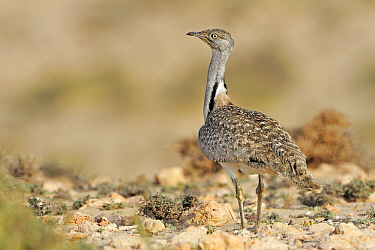 Houbara Bustard (Chlamydotis undulata) male in semi-desert, Fuerteventura, Canary Islands, Spain  -  Winfried Wisniewski