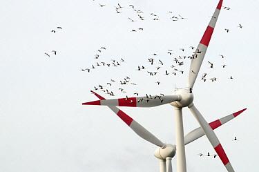 Common Crane (Grus grus) group flying in front of windmill, Rheden, Germany  -  Marcel van Kammen/ NiS