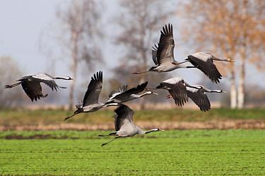 Common Crane (Grus grus) flock flying, Rheden, Germany  -  Marcel van Kammen/ NiS