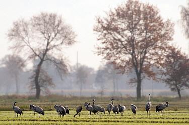 Common Crane (Grus grus) flock foraging in field, Rheden, Germany  -  Marcel van Kammen/ NiS