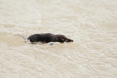 Eurasian Water Shrew (Neomys fodiens) swimming, Holwerd, Friesland, Netherlands  -  Marcel van Kammen/ NiS