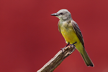 Couch's Kingbird (Tyrannus couchii), Texas  -  Marcel van Kammen/ NiS