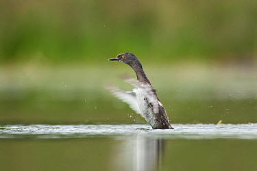 Least Grebe (Tachybaptus dominicus) flapping wings, Texas  -  Marcel van Kammen/ NiS