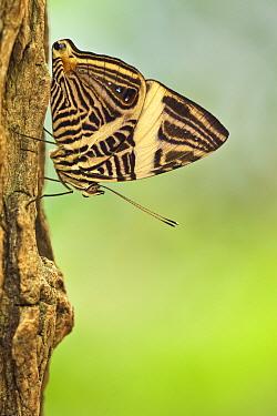 Zebra Mosaic Butterfly (Colobura dirce), Amsterdam, Noord-Holland, Netherlands  -  Wahrmut Sobainsky/ NiS