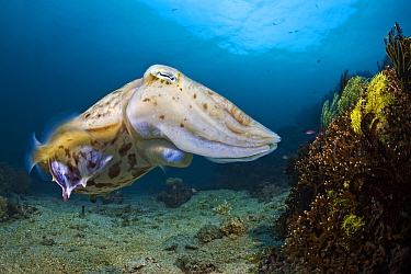 Broadclub Cuttlefish (Sepia latimanus) near coral reef, Lembeh Strait, Sulawesi, Indonesia  -  Wahrmut Sobainsky/ NiS