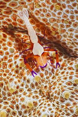 Emperor Shrimp (Periclimenes imperator), Lembeh Strait, Sulawesi, Indonesia  -  Wahrmut Sobainsky/ NiS