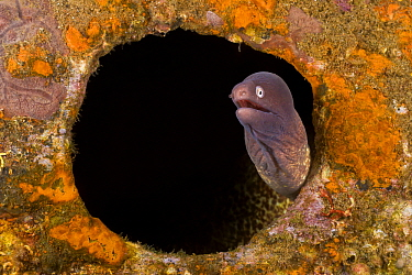 White-eyed Moray (Gymnothorax thyrsoideus) peering out of hole in reef, Negros, Philippines  -  Wahrmut Sobainsky/ NiS