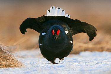 Black Grouse (Tetrao tetrix) male displaying, Finland  -  Erik van Velden/ NiS