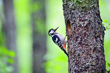 White-backed Woodpecker (Dendrocopos leucotos) female at nest hole, Valgamaa, Estonia  -  Sven Zacek/ NiS