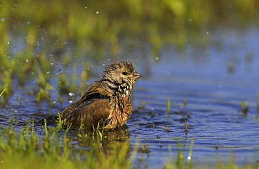 Linnet (Carduelis cannabina) bathing, Friesland, Netherlands  -  Martin Woike/ NiS