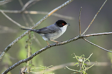 Sardinian Warbler (Sylvia melanocephala) male singing on twig, Alentejo, Portugal  -  Duncan Usher