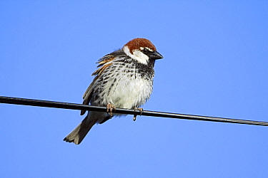 Spanish Sparrow (Passer hispaniolensis) male on electric cable, Alentejo, Portugal  -  Duncan Usher