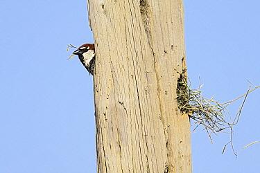 Spanish Sparrow (Passer hispaniolensis) male emerging from nest entrance in telegraph pole, Alentejo, Portugal  -  Duncan Usher